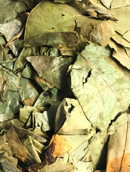 Graviola Annona - Folhas